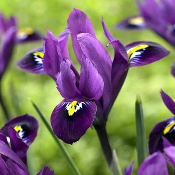 Ірис Reticulata Purple Hill