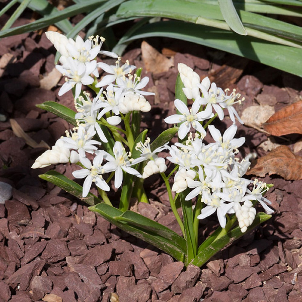 Пролісок Bifolia Alba