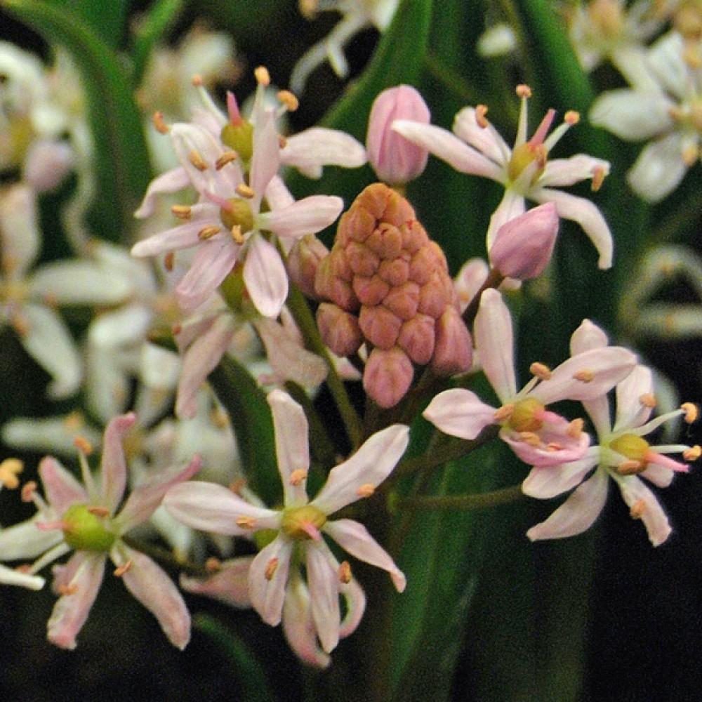 Пролісок Bifolia Rosea