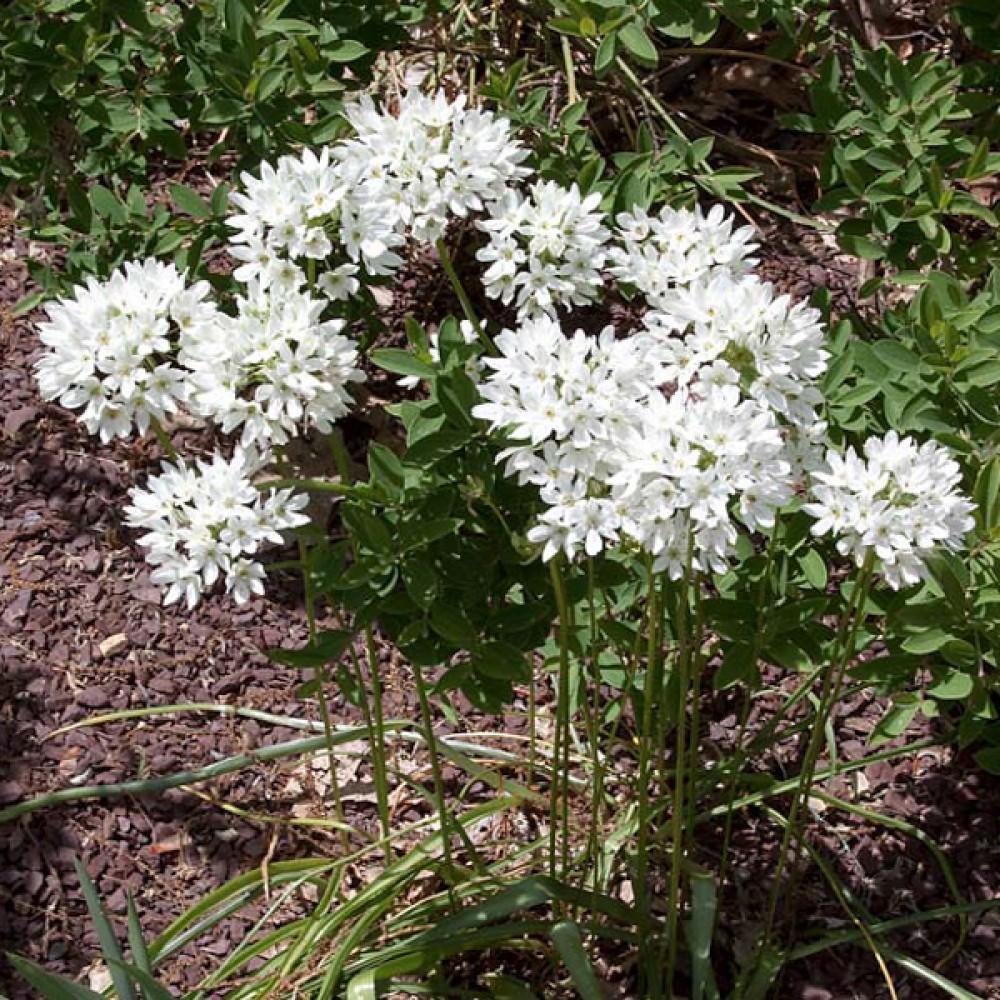 Трітелея Hyacinthina