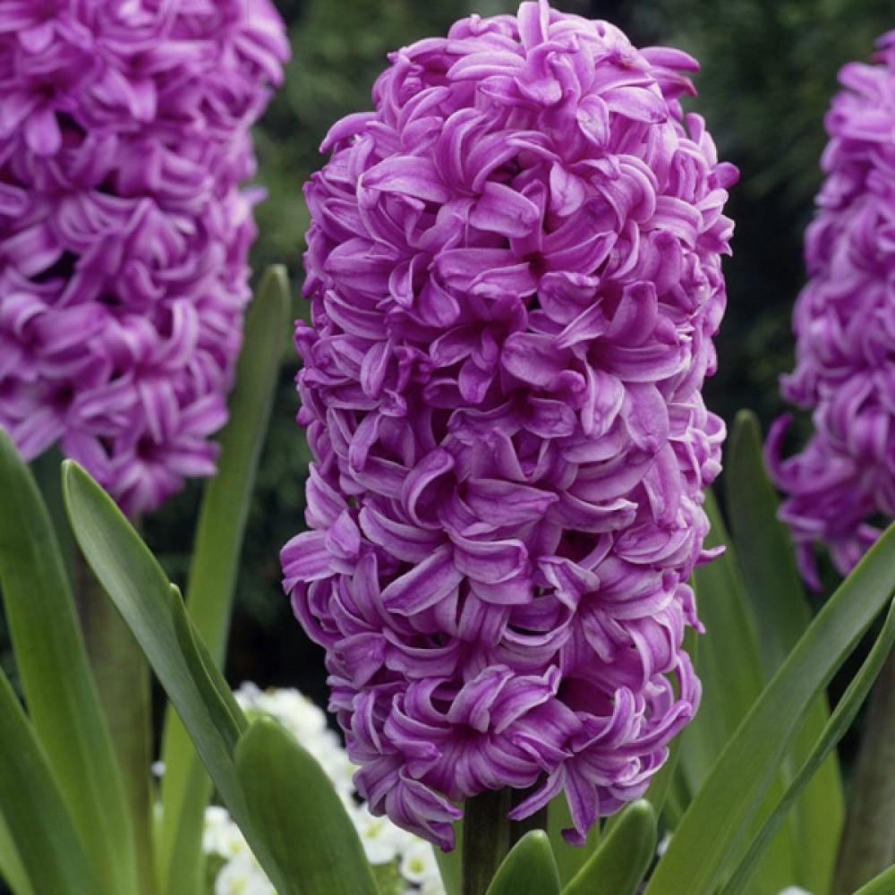 Гіацинт Purple Sensation