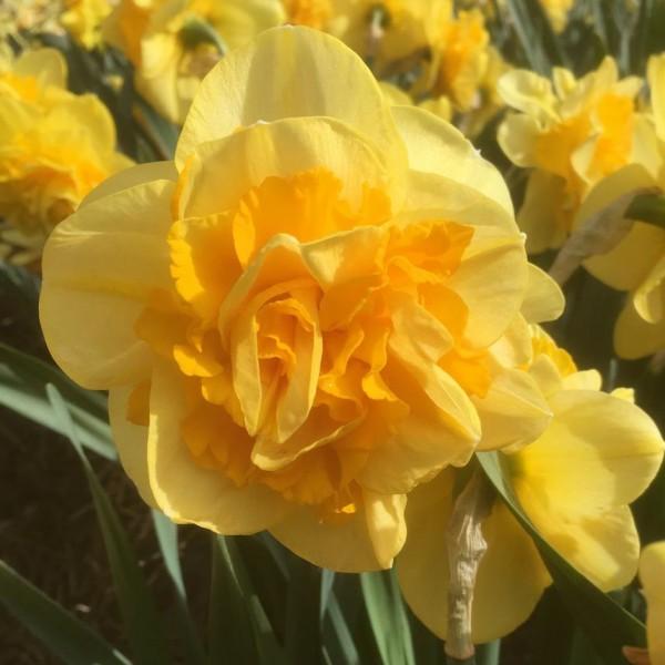 Нарцис Bear Spring