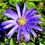 Анемона Blue Shades