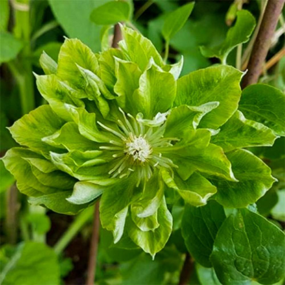 Клематіс Green Passion