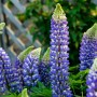 Люпин Russell Hybrids Blue