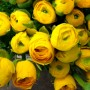 Лютик Ranunculus Aviv Gold