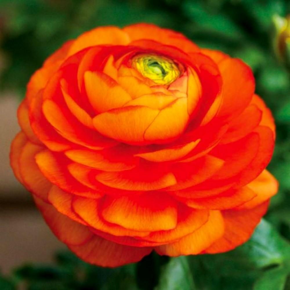 Лютик Ranunculus Aviv Orange
