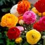 Лютик Ranunculus Tomer Mix (суміш)