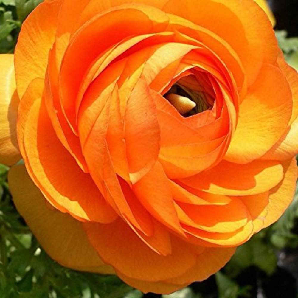 Лютик Ranunculus Aviv Picotee Orange