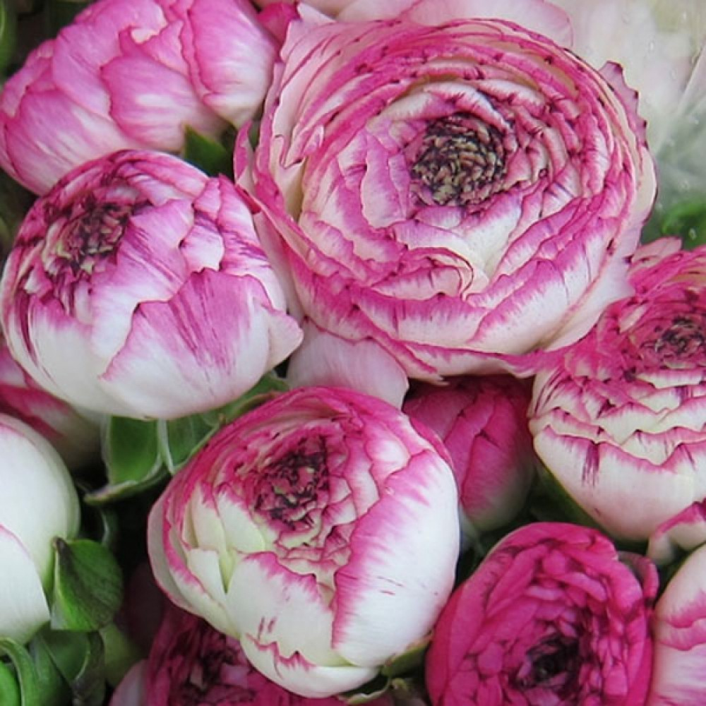 Лютик Ranunculus Aviv Picotee Pink