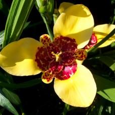 Тігрідія Canariensis