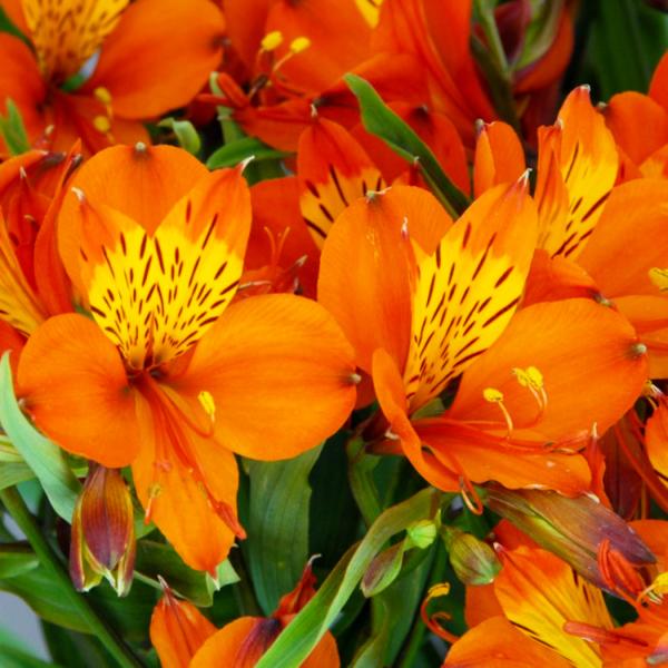 Альстромерія Orange King