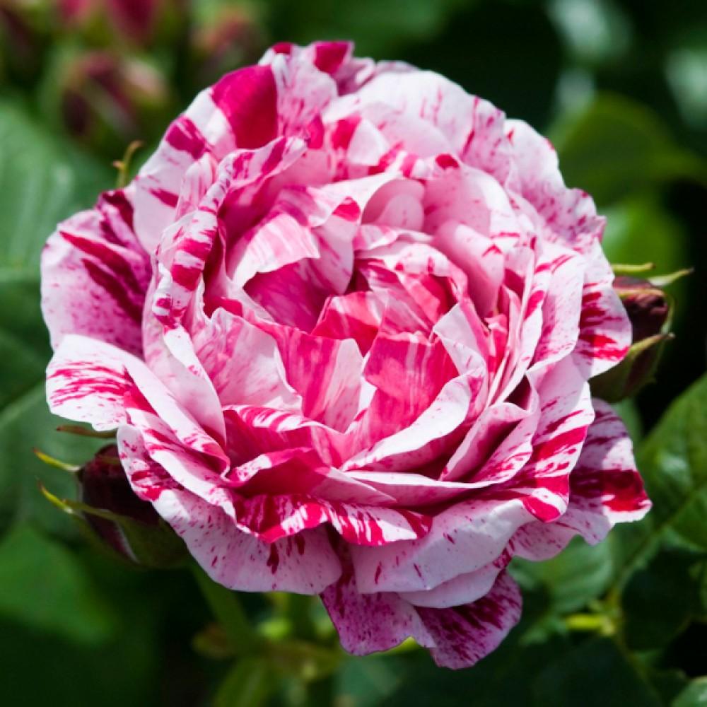Троянда Ferdinand Pichard (саджанець)