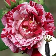 Троянда Ferdinand Pichard