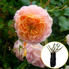Троянда Polka