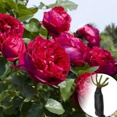 Троянда Red Eden Rose