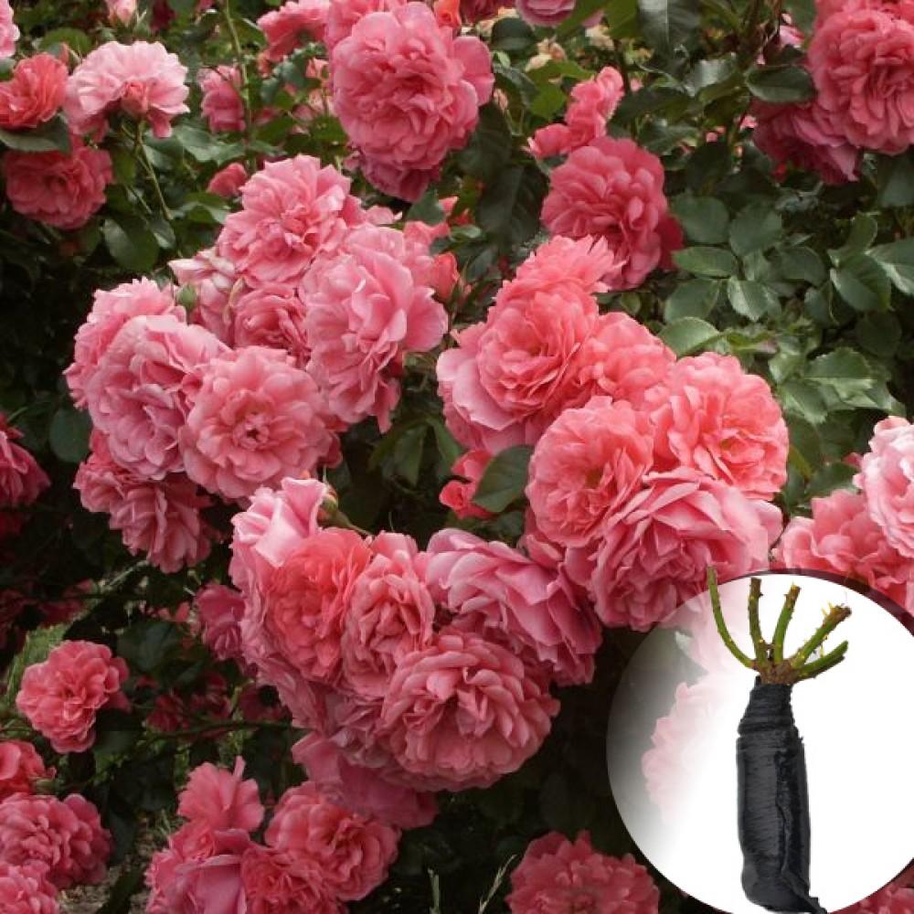 Троянда Rosarium Uetersen (саджанець)