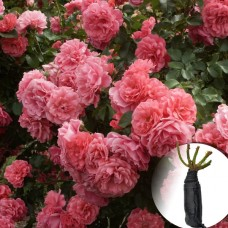 Троянда Rosarium Uetersen