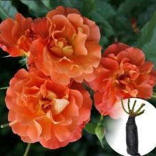 Троянда Westerland