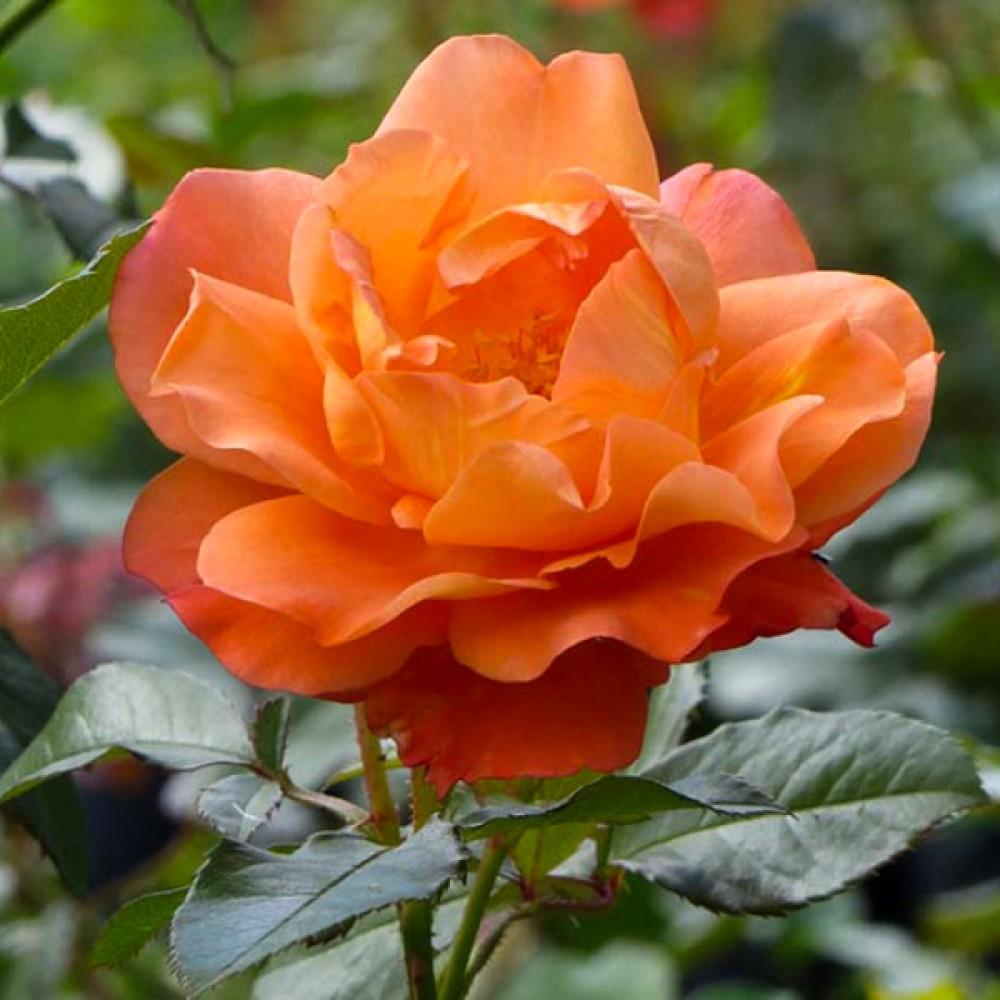 Троянда Westerland (саджанець)