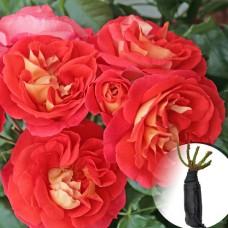 Роза Gebruder Grimm