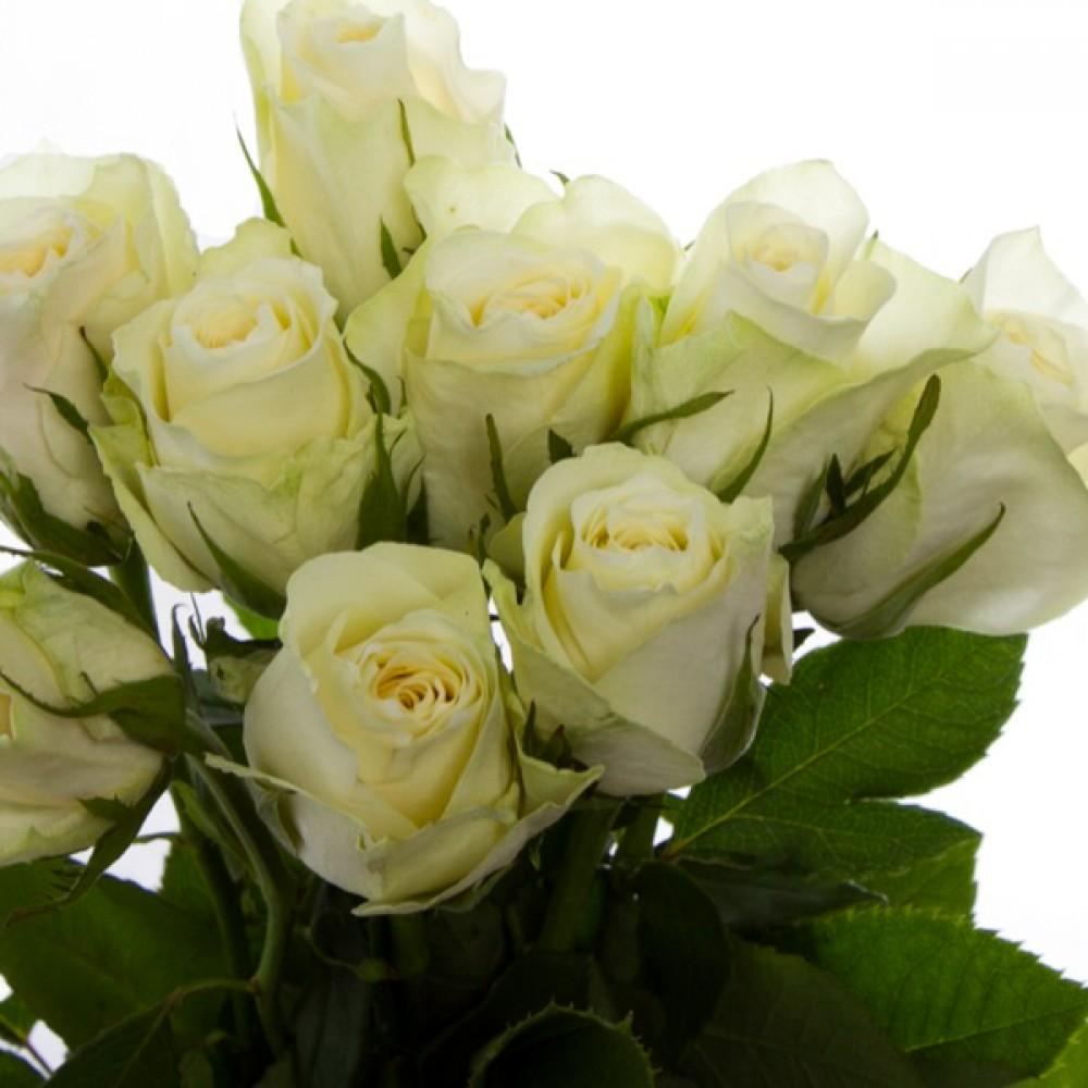 Троянда Athena (саджанець)