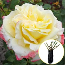 Троянда Athena