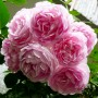 Троянда Jasmina (саджанець)