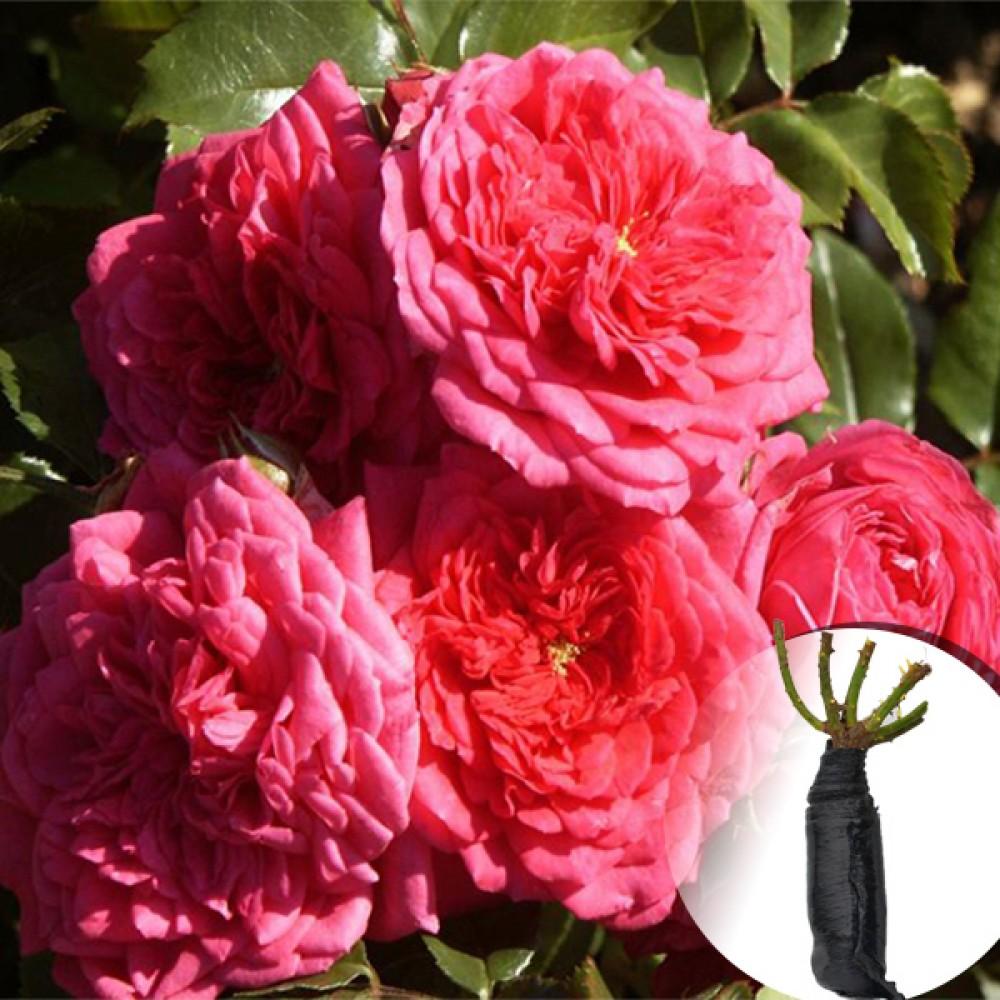 Троянда Laguna (саджанець)