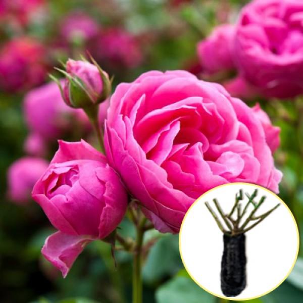 Троянда Pomponella (саджанець)