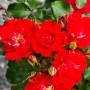 Троянда Rotilia (саджанець)