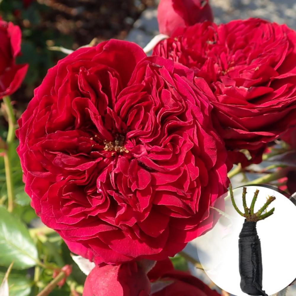 Троянда Rotkappchen (саджанець)