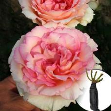 Роза Souvenir de Baden-Baden