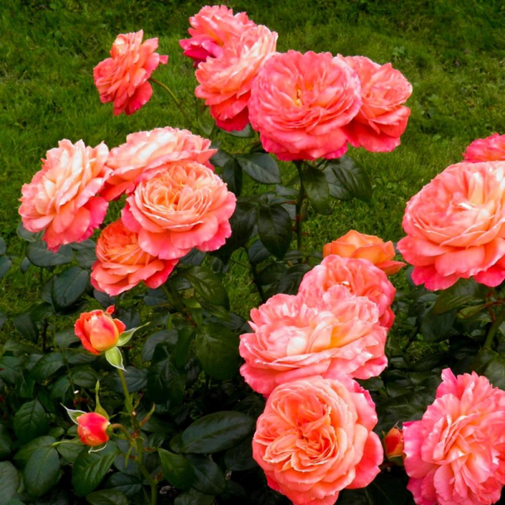 Троянда Queen of Hearts (саджанець)
