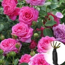 Троянда Chaplin's Pink