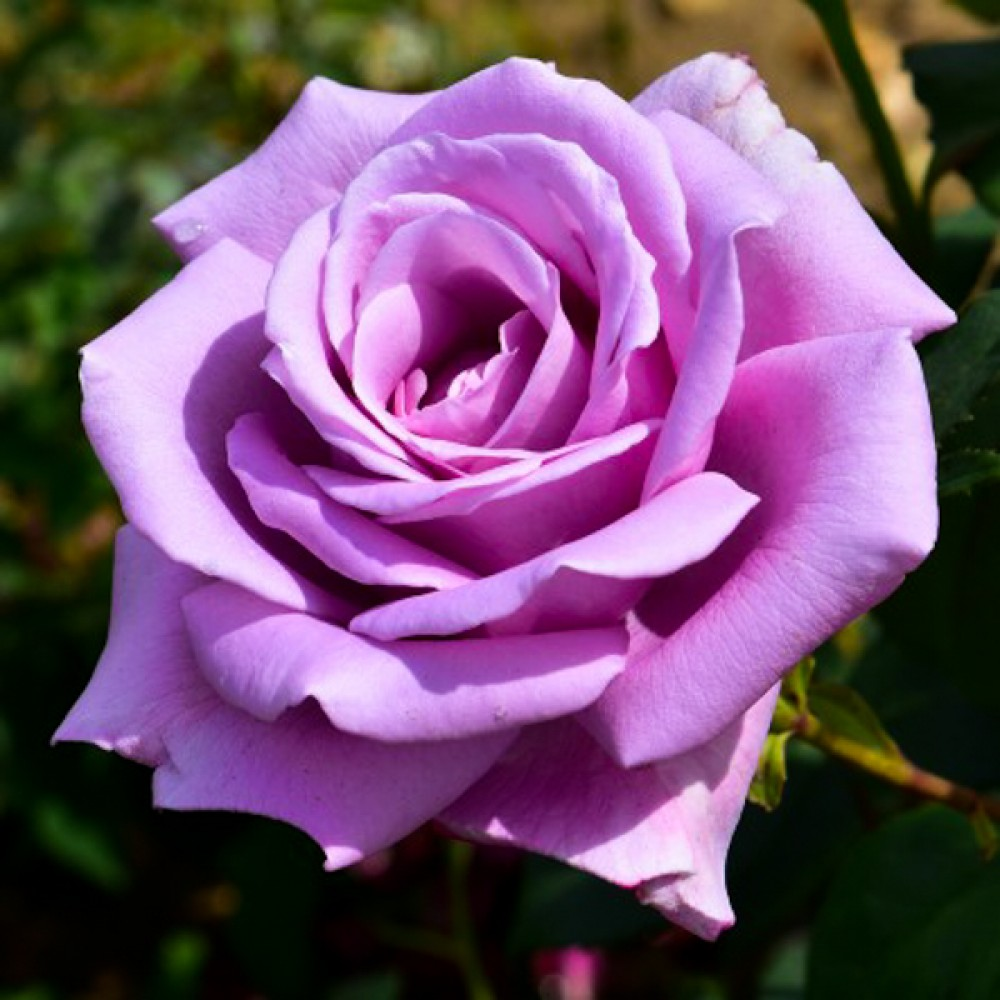 Троянда Climbing Blue Moon (саджанець)