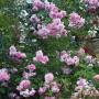 Троянда Climbing Violette Parfume (саджанець)