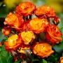 Троянда Climbing Rumba (саджанець)