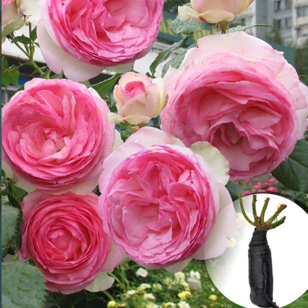 Троянда Eden Rose (саджанець)