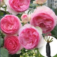 Троянда Eden Rose