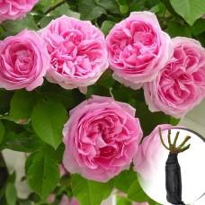 Троянда Etude