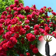 Троянда Flammentanz