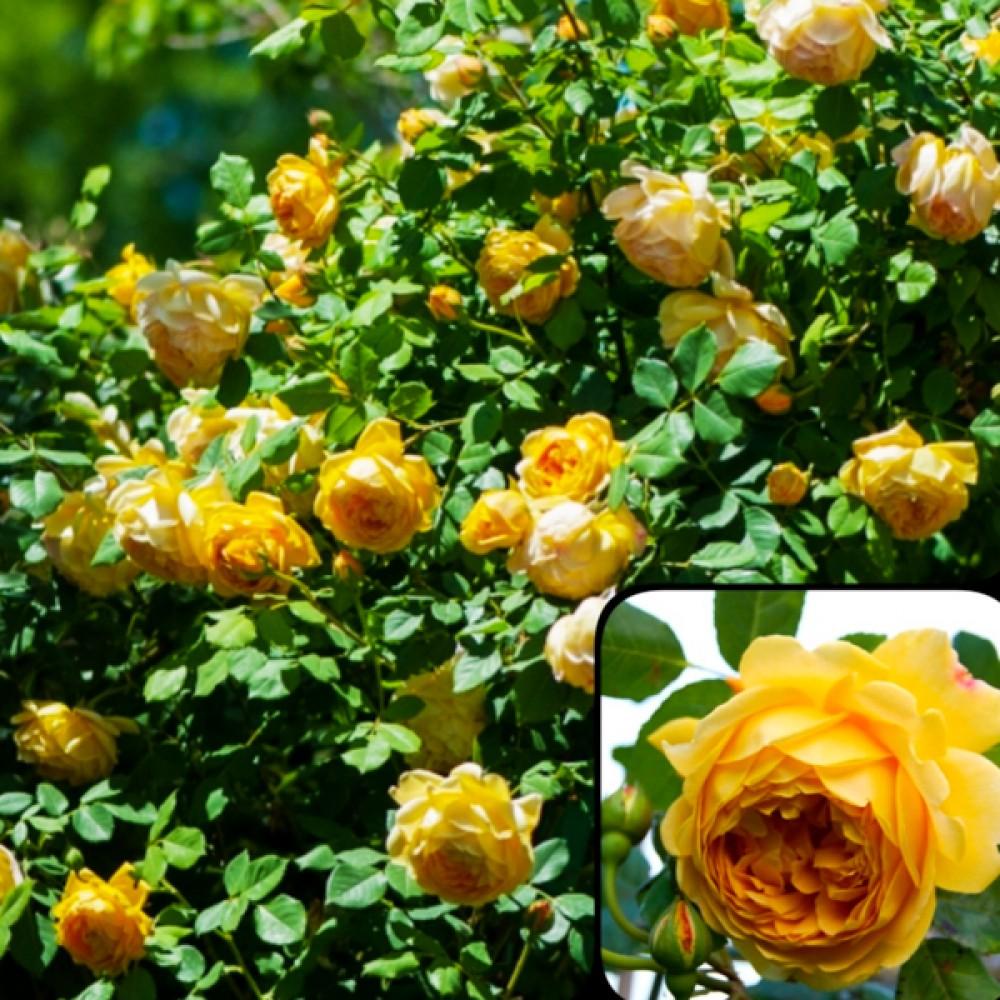 Троянда Golden Showers (саджанець)