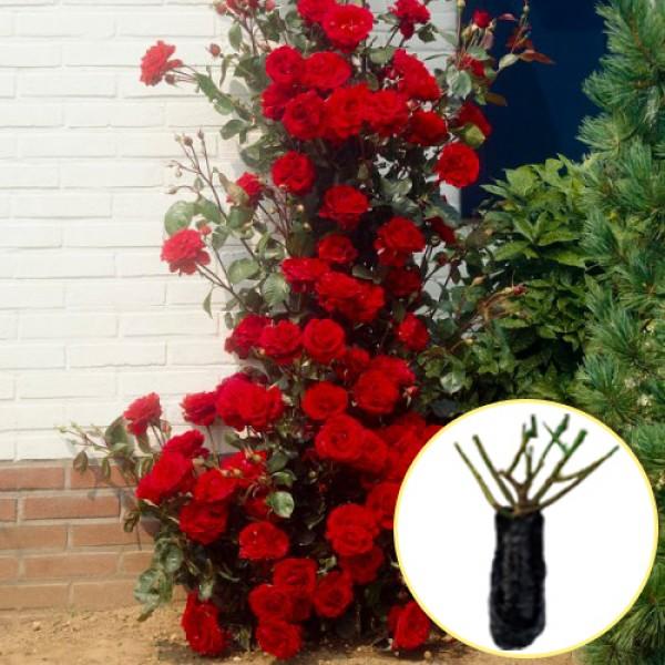 Троянда Musimara (саджанець)