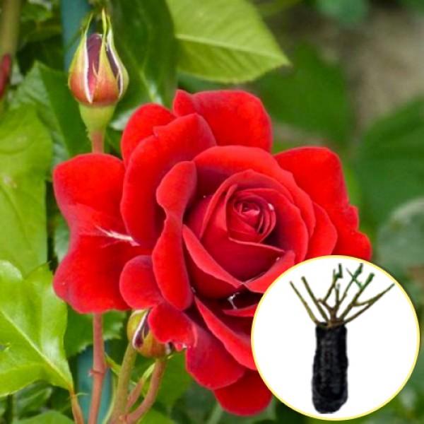 Троянда Nahelglut (саджанець)