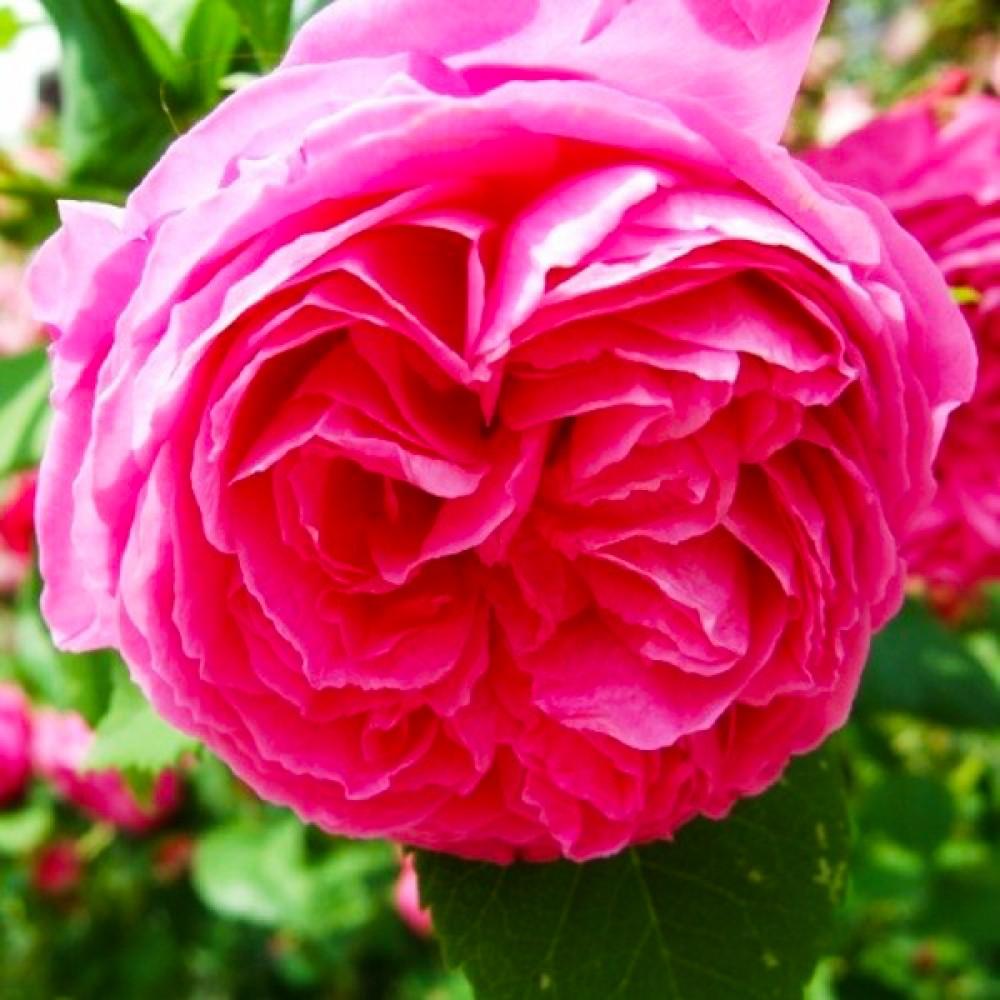 Троянда Pink Musimara (саджанець)