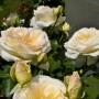Троянда Schneewalzer (саджанець)