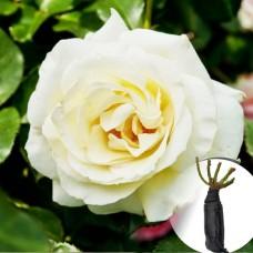 Троянда Schneewalzer
