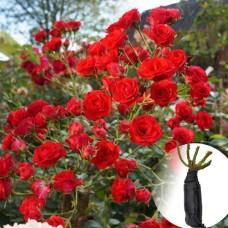 Троянда Scarlet Meillandecor