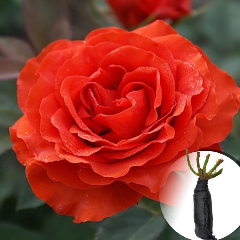 Троянда Brand Pixie (саджанець)